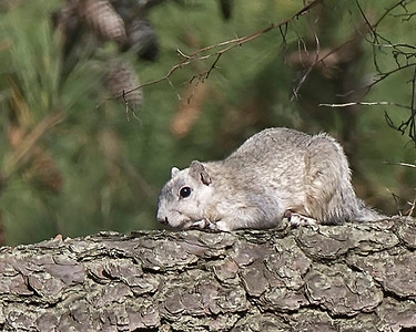 Del Mar Va Fox Squirrel