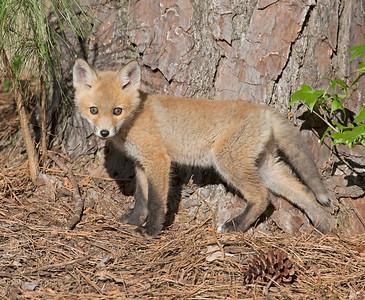 Big Pine, Little Fox