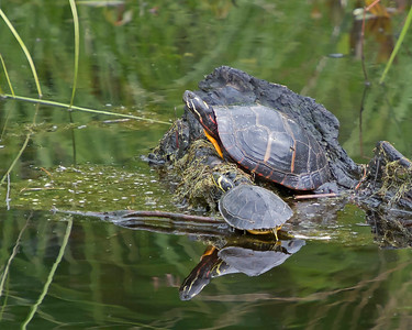 Yellow Slider Turtles