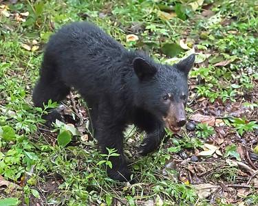 Cub crossing the Blue Ridge Parkway