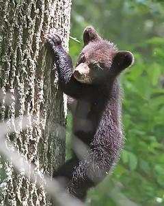 Bear Bear Cub Climbing Cub