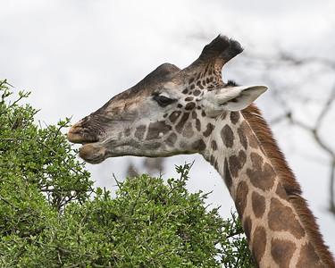 Masai Giraffe Eats Acacia Tree