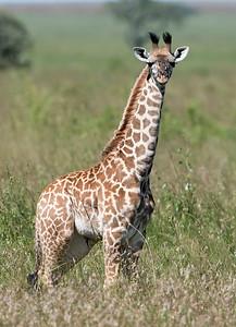 Months Old Masai Giraffe