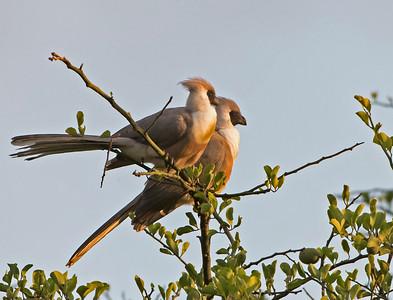 Bare Faced Go Away Birds