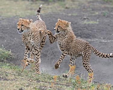 Cheetah Young Playing