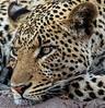 Resting Leopard, Botswana