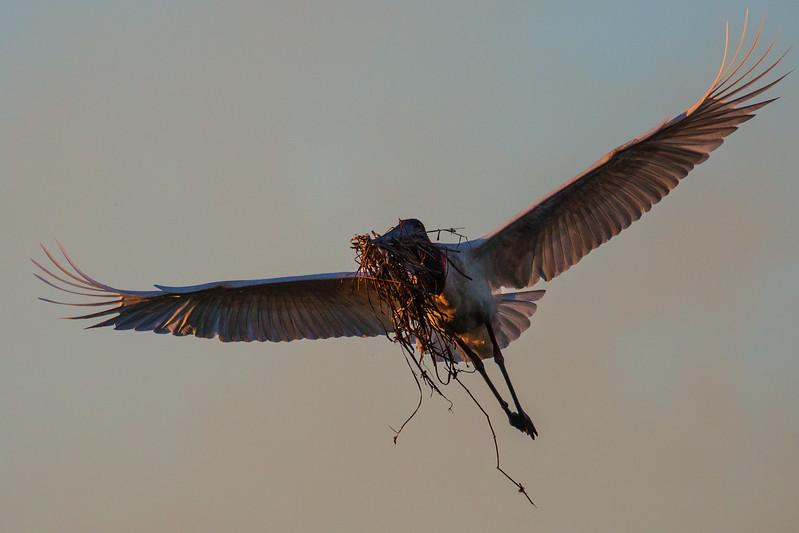 Jaribu Stork Building Nest, Pantanal, Brazil