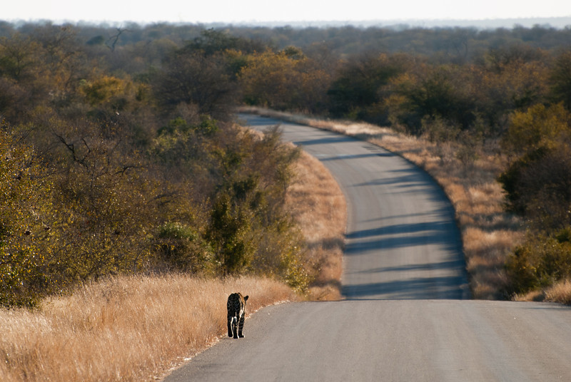 """<span id=""""title"""">Leopard on Road</span> <em>Kruger National Park</em> And then, right as we were leaving, we came across a leopard walking casually along the road.."""