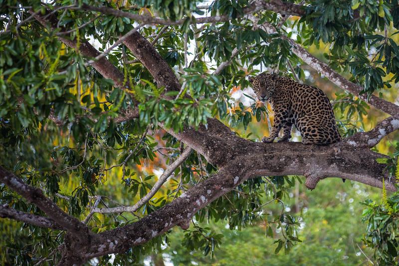 Jaguar in Tree, Pantanal, Brazil