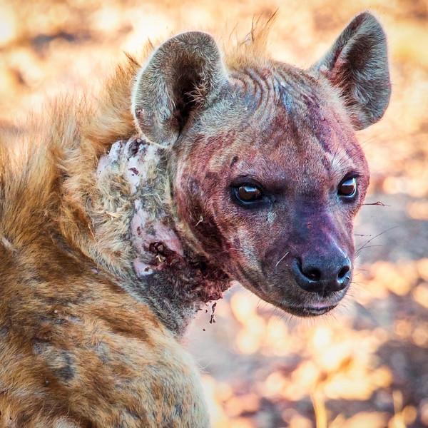 Battle Tested Hyena, Namibia