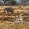Hungry Cheetah, Botswana