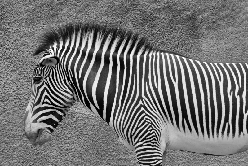 "<span id=""title"">Zebra in Profile</span> The zebras weren't too exciting, but I thought this shot was neat with the different textures."