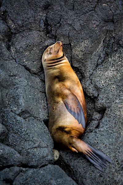 Sleeping Sea Lion, Galapagos