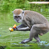 Java or Crab-Eating Macaque (Macaca fascicularis)<br /> Miami Monkey Jungle