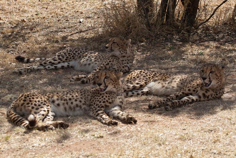 "<span id=""title"">Lazy Cheetahs</span> <em>Ann van Dyk Cheetah Centre</em> Caption"