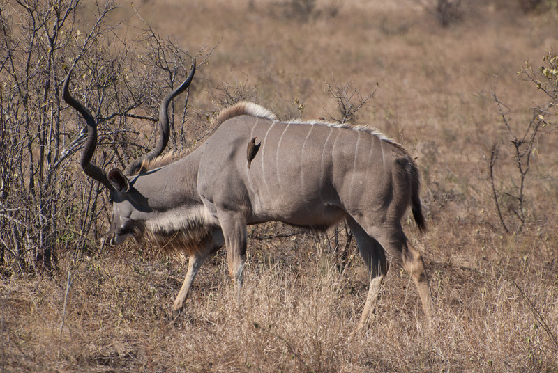 """<span id=""""title"""">Kudu and Passenger</span> <em>location</em> Kudus are pretty cool animals with amazing horns, we only saw a couple. These same birds were hanging around/on the hippos."""