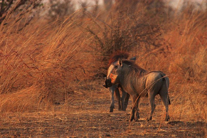 Warthog (Phacochoerus africanus), Waza park, Extreme-North, Cameroon.