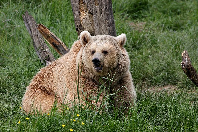 Bear, Sainte-Croix park, Lorraine, France.
