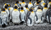 King Penguins Molting, Salisbury Plain, South Georgia