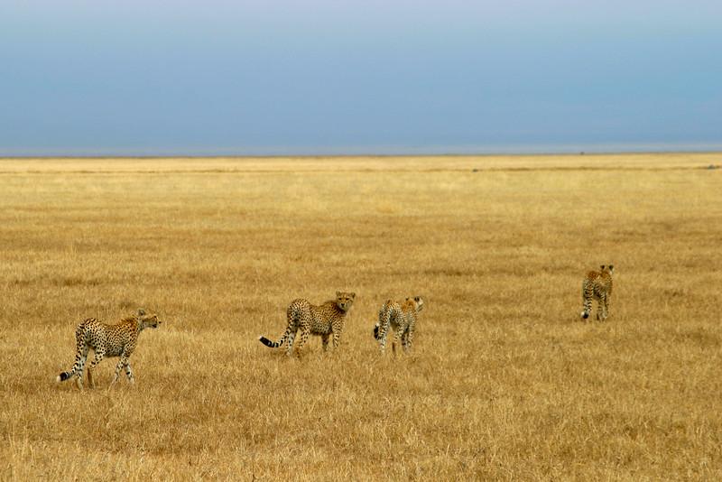 Cheetah Family, Tanzania