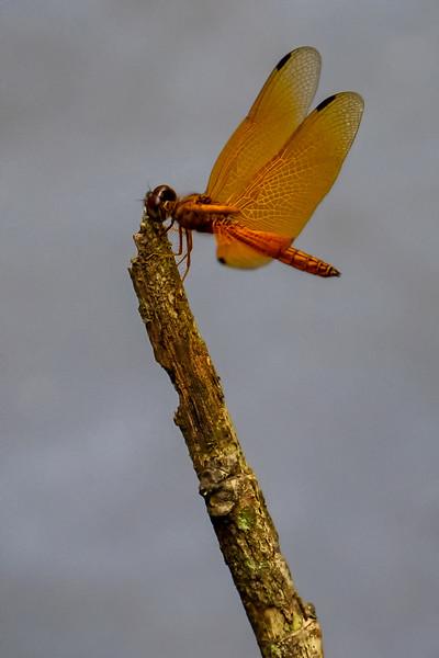 Orange Dragonfly, Peru