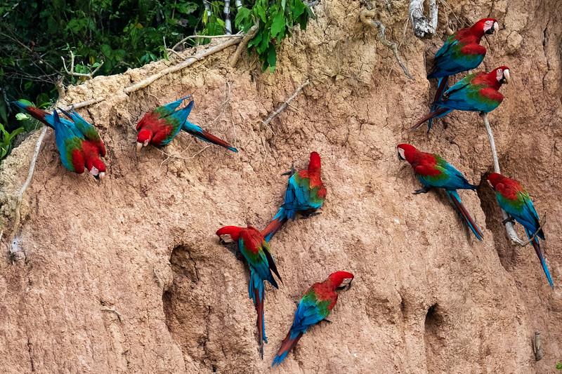 Red and Green Macaws on Clay Lick, Tambopata, Peru