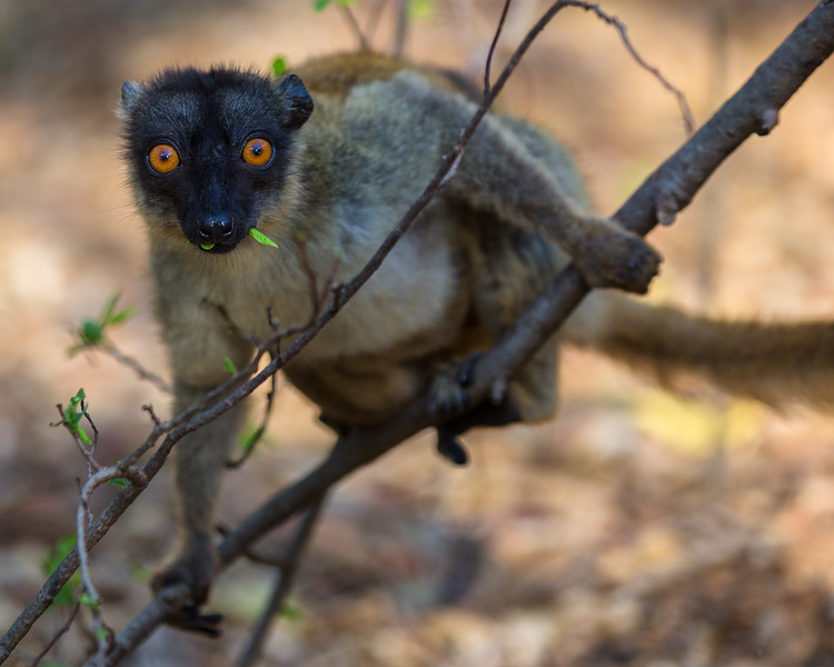 Common Brown Lemur, Madagascar