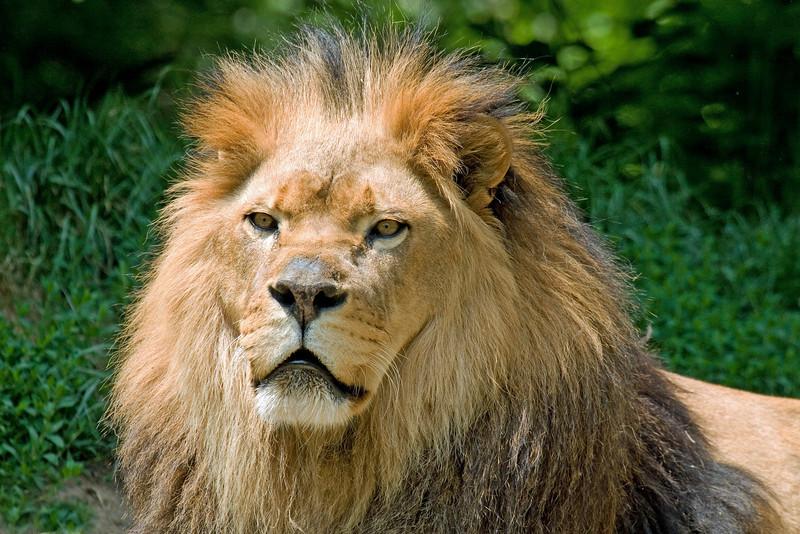 Lion (Captive) USA