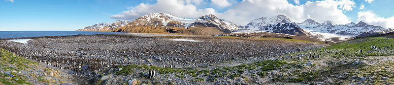 King Penguin Colony Panorama, St. Andrews Bay, South Georgia