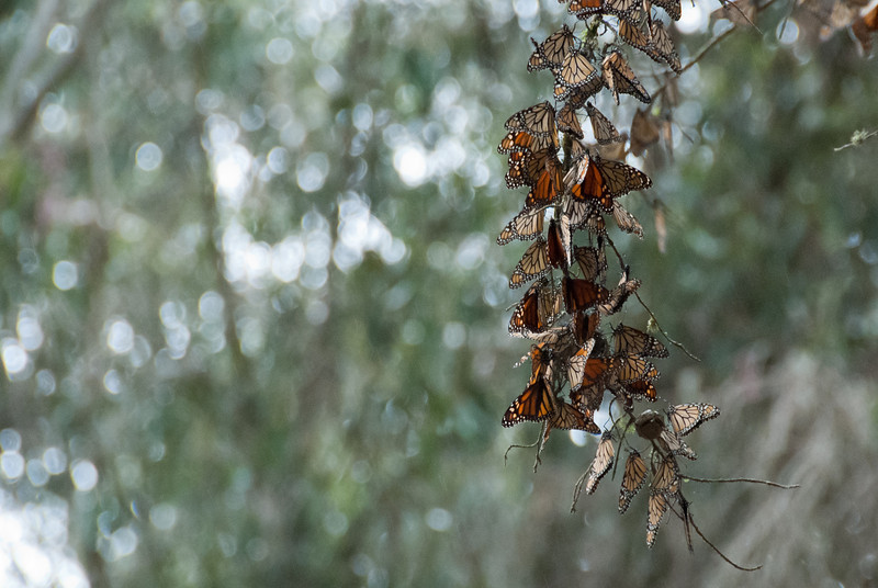 "<span id=""title"">Butterflies</span> Although there were supposed to be much, much more of them, it was still neat to see these monarchs clumped together."
