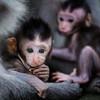Monkey Babies, Bali