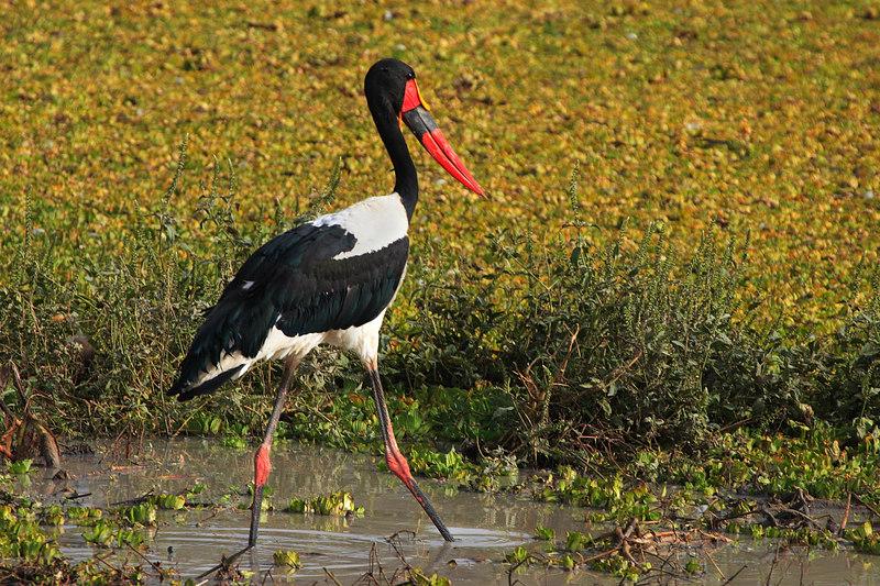 Saddle-billed Stork (Ephippiorhynchus senegalensis), Waza park, Extreme-North, Cameroon.