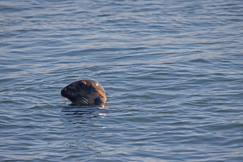 Swimming seal in St. John's Nova Scotia