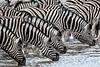 Zebra Drink, Namibia