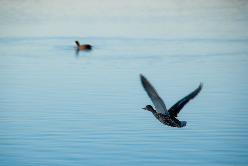 "<span id=""title"">Duck in Flight</span> Lucky catch of a duck in flight. I like how it came out sharp and in shadow, while the duck in the background is in the sun. Like I said... lucky."