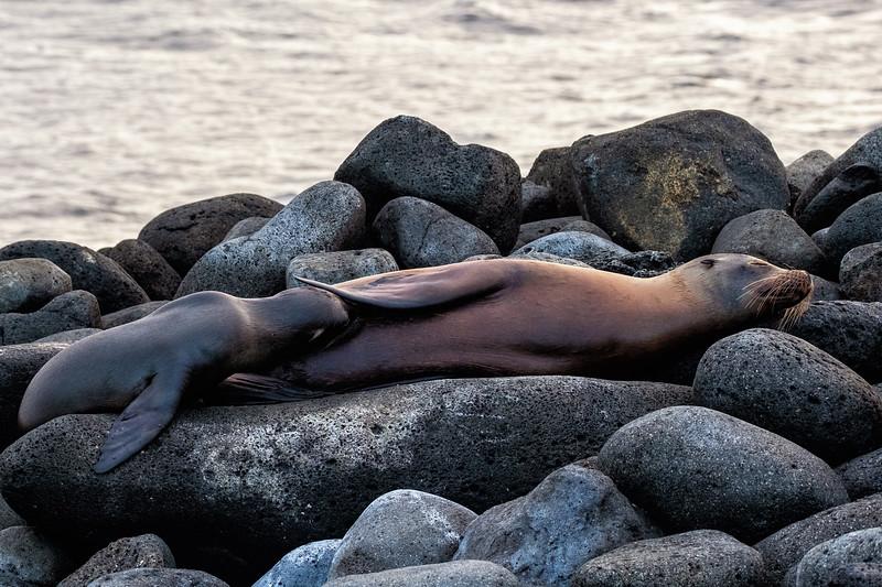 Nursing Sea Lion, Galapagos