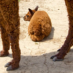 Alpacas #1—3 Days Young