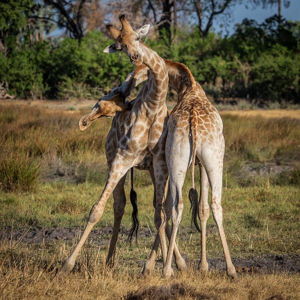 Giraffe Tangle, Botswana
