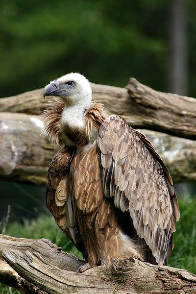 Vulture, Sainte-Croix park, Lorraine, France.