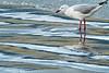 Silver Gull, Maira Island, Tasmania