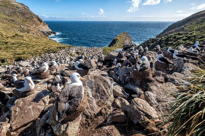 Mixed Black Browed Albatros and Rockhopper Penguin Colony, West Point Island, Falklands