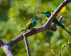 Bee Eaters, Sri Lanka