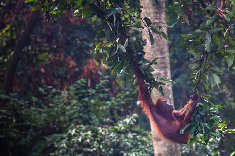 Orangutan Swinging, Borneo