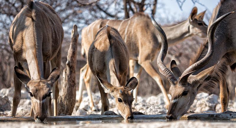 Kudu Drinking, Namibia