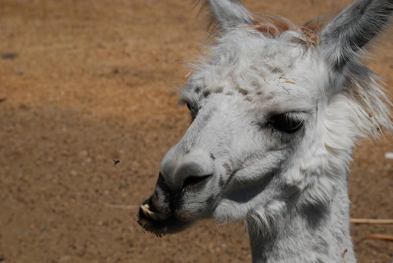 "<span id=""title"">Llama! </span>"