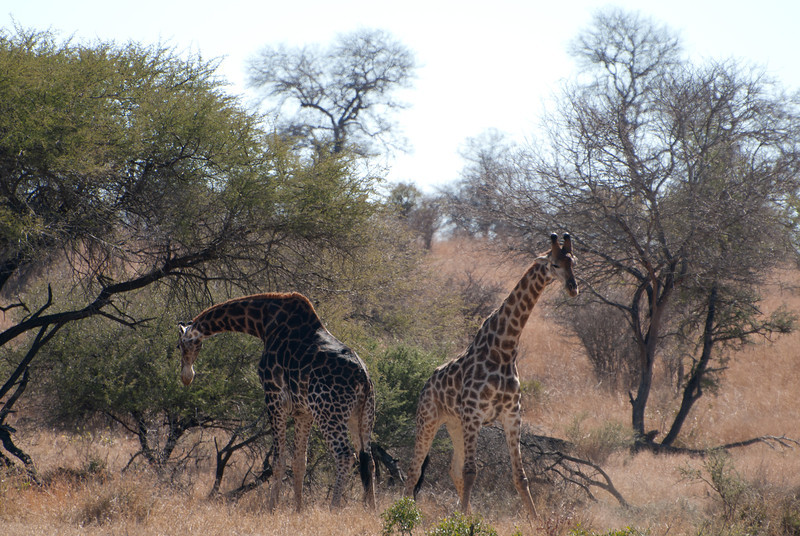 """<span id=""""title"""">Giraffe Fight 5</span> <em>Kruger National Park</em> Dark giraffe looks defeated, but it's actually just another break in the fighting. Our guide told us the color isn't significant, the left giraffe isn't older or anything like that. Just darker."""