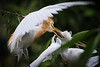 Heron Feeding Time, Bali