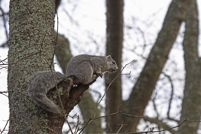 Endangered Delmarva Fox Squirrel