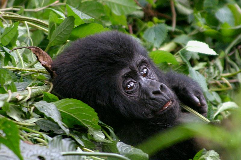 Young Mountain Gorilla, Uganda