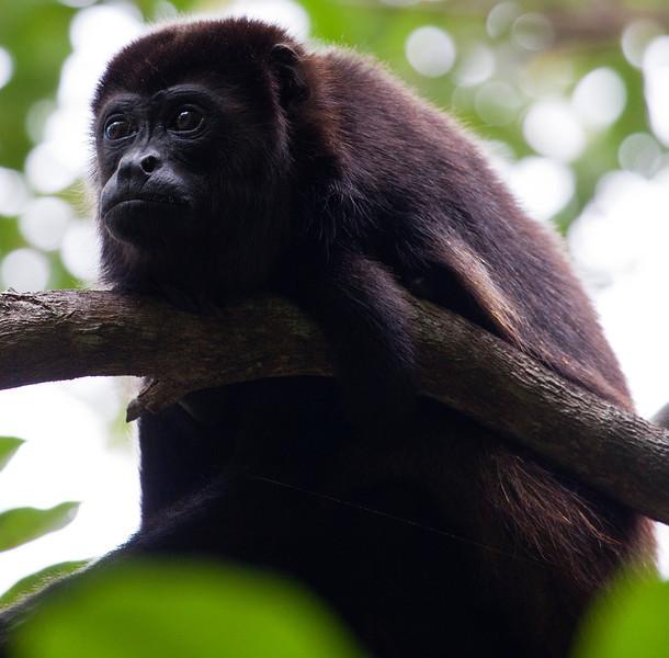 Howler Monkey, Nicaragua